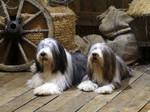 Две собаки бородатый колли