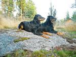 Две собаки босерон