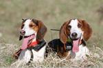 Два щенка немецкой гончей