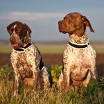 Две милые собаки французский бракк