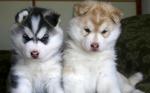 Два милых щенка аляскинского маламута