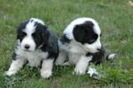 Два милых щенка собаки бородатый колли