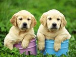 Два милых щенка золотистого ретривера