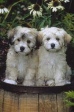 Два милых гаванских бишона