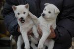 Два милых щенка японской лайки Кисю