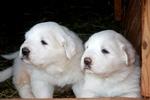 Два щенка пиренейской горной собаки