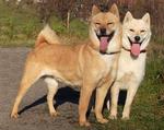 Две собаки айну