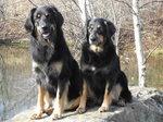 Две собаки ховаварт