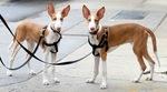 Две ивисские собаки
