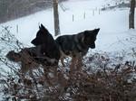 Две королевские овчарки
