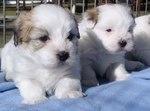 Два прекрасных щенка собаки котон-де-тулеар