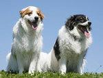 Две собаки торньяк