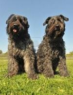 Две собаки арденский бувье