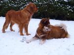 Две красные канадские эскимосские собаки