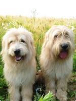 Две собаки сапсари
