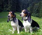 Две швейцарские гончие