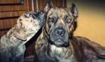 Две милых собаки алано