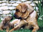 Две собаки тоса-ину