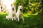 Две белые собаки акита-ину