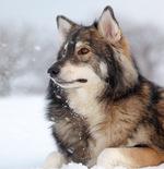 Морда собаки утонаган