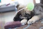 Очень милый щенок американской эльзасской собаки