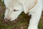 Очень милый щенок акбаша