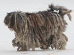 Бергамская овчарка на прогулке