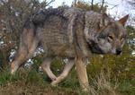 Чехословацкая волчья собака на прогулке