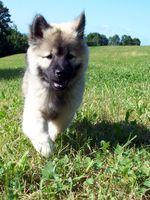 Собака евразиер гуляет