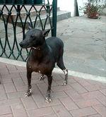 Перуанская голая собака гуляет