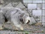 Собака сапсари на прогулке