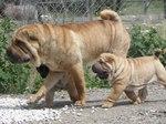 Шарпей с щенком гуляют
