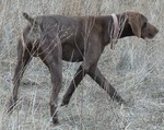 Древесная теннессийская тигровая собака гуляет