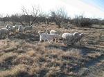 Акбаш пасет овец
