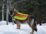 Поисковая американская эльзасска собака
