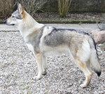 Чехословацкая волчья собака наблюдает