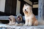 Собаки сапсари смотрят