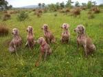 Собаки веймаранер