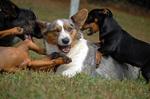 Вельш-корги кардиган играет с другими собаками