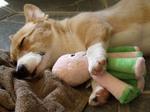 Вельш-корги пемброк спит с игрушкой