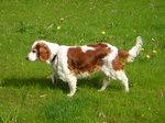 Уэльский спрингер-спаниель на траве