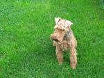 Уэльский терьер на траве