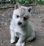 Белый щенок аляскинского кли-кая