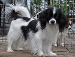 Черно-белая собака фален