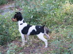 Черно-белая собака Ratonero Valenciano