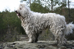 Белая венгерская овчарка