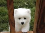 Милый белый щенок канадской эскимосской собаки