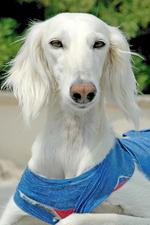 Белая собака салюки