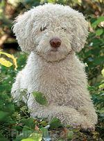 Белая испанская водяная собака