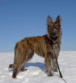 Зимние фото собаки арденский бувье